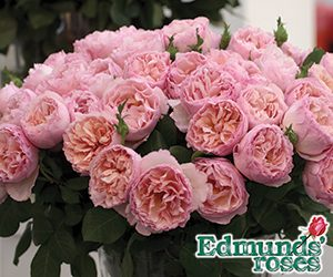Beautiful roses begin with Edmunds'. Your source for America's finest garden roses.