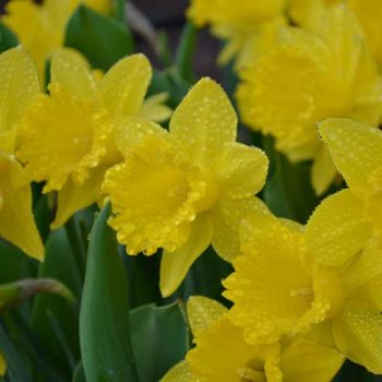 Daffodil - Always provides a dependable display of early spring color and is an excellent choice for naturalizing.