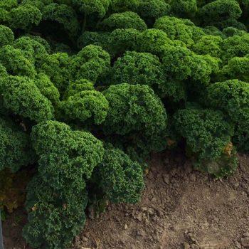 Kale Prizm - National Garden Bureau