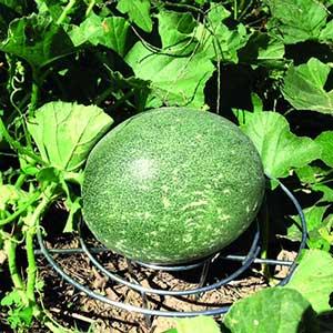 Melon Cradles