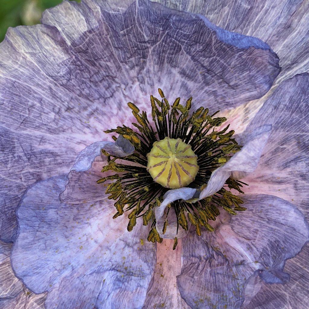 Poppy Amazing Grey - Great Native Plant - National Garden Bureau