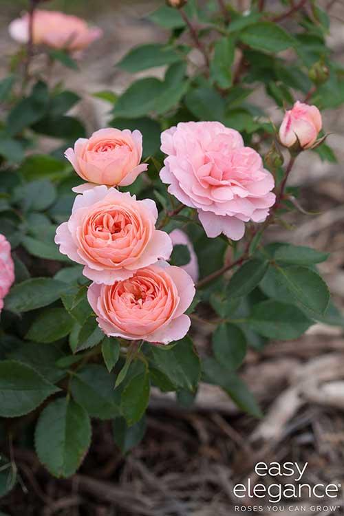 rose pictures national garden bureau. Black Bedroom Furniture Sets. Home Design Ideas