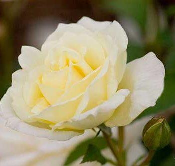 Macy's Pride Rose - Easy Elegance Roses