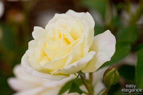4e01b75f197 Winter Rose Care - National Garden Bureau