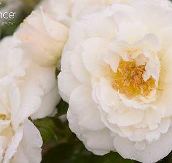 Snowdrift Rose - Easy Elegance Roses