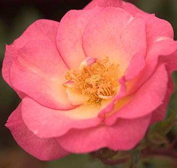 Sunrise Sunset Rose-Easy Elegance Roses