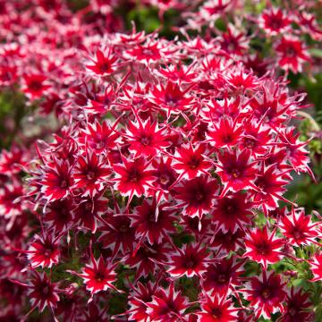 Popstars Red Phlox