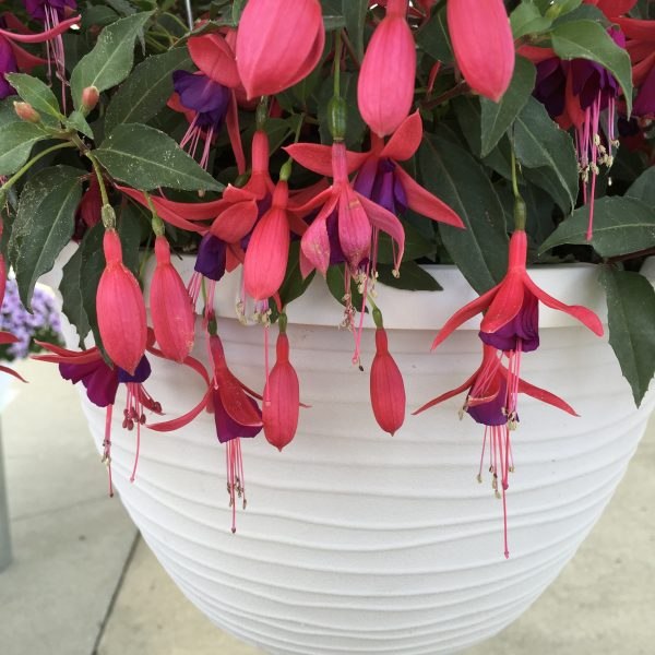 Aretes Pompei Fuchsia
