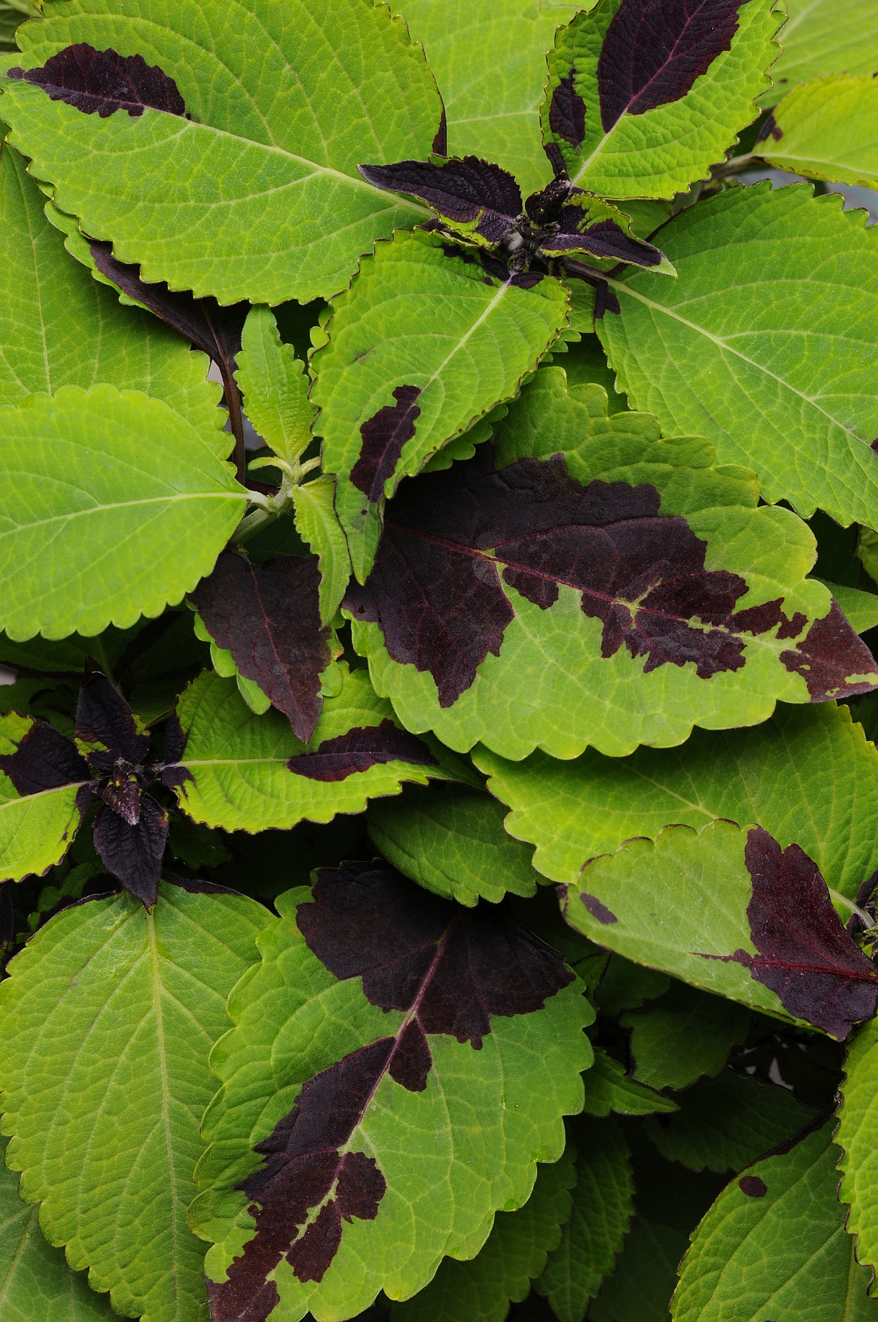 Coleus - Adding Color to Your Garden, Containers and Patio ...