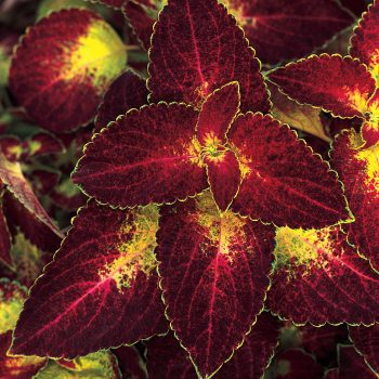 Coleus ColorBlaze Dipt In Wine