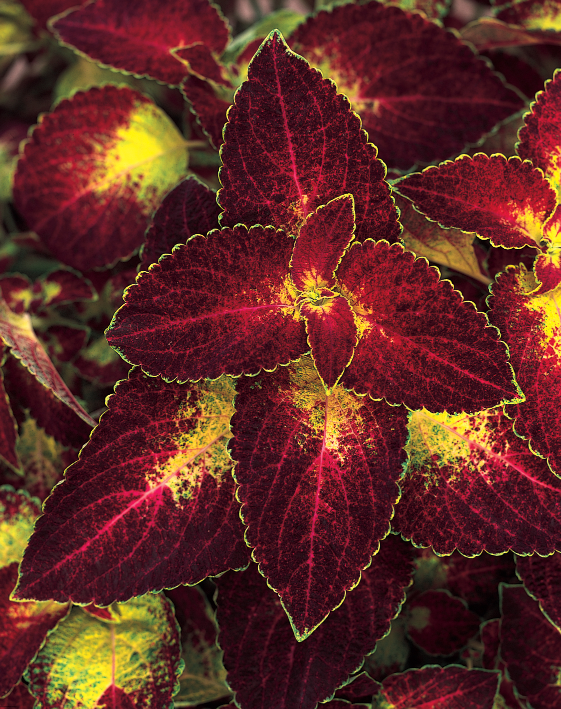 Coleus Adding Color To Your Garden Containers And Patio