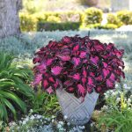 Coleus Fifth Avenue Red Fox