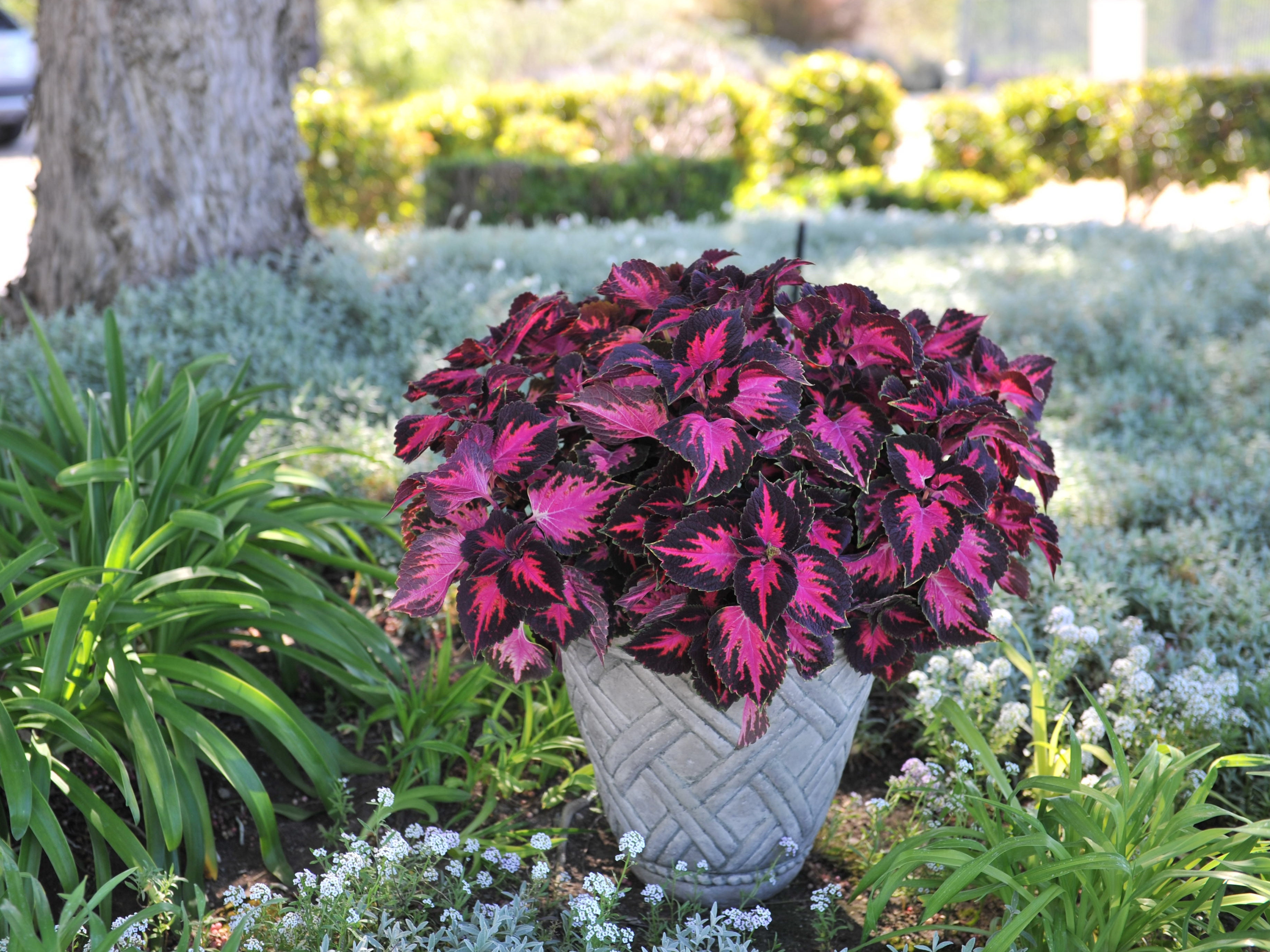 Superieur Coleus Fifth Avenue Red Fox