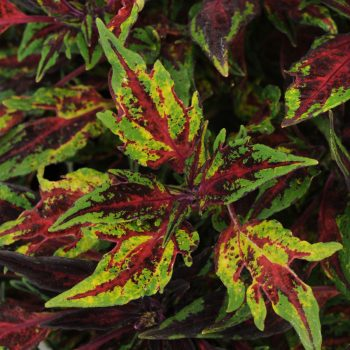 Coleus Marquee Red Carpet