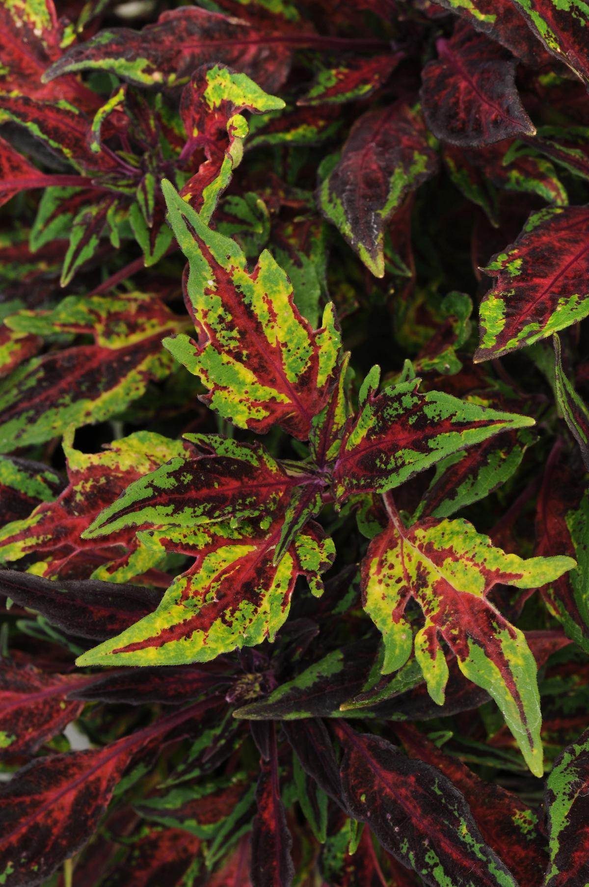 Coleus Color All Season National Garden Bureau