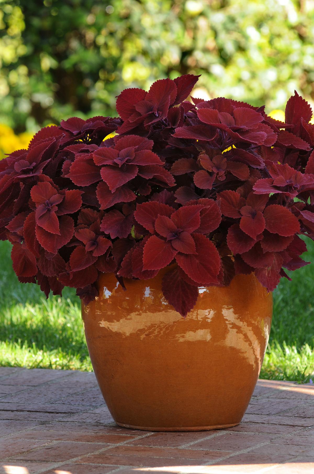принципе как называется вазон с красными листьями фото родные желают
