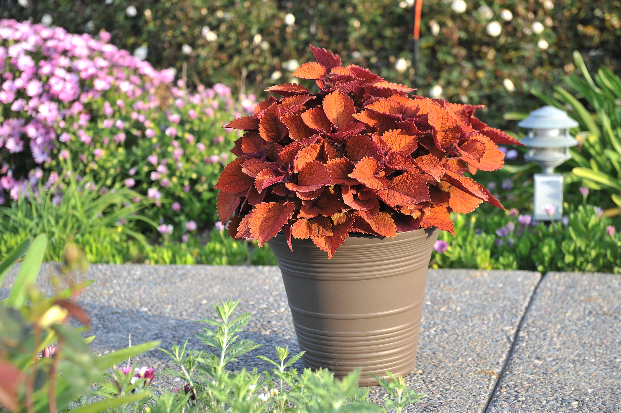 Coleus Wall Street Red Fox