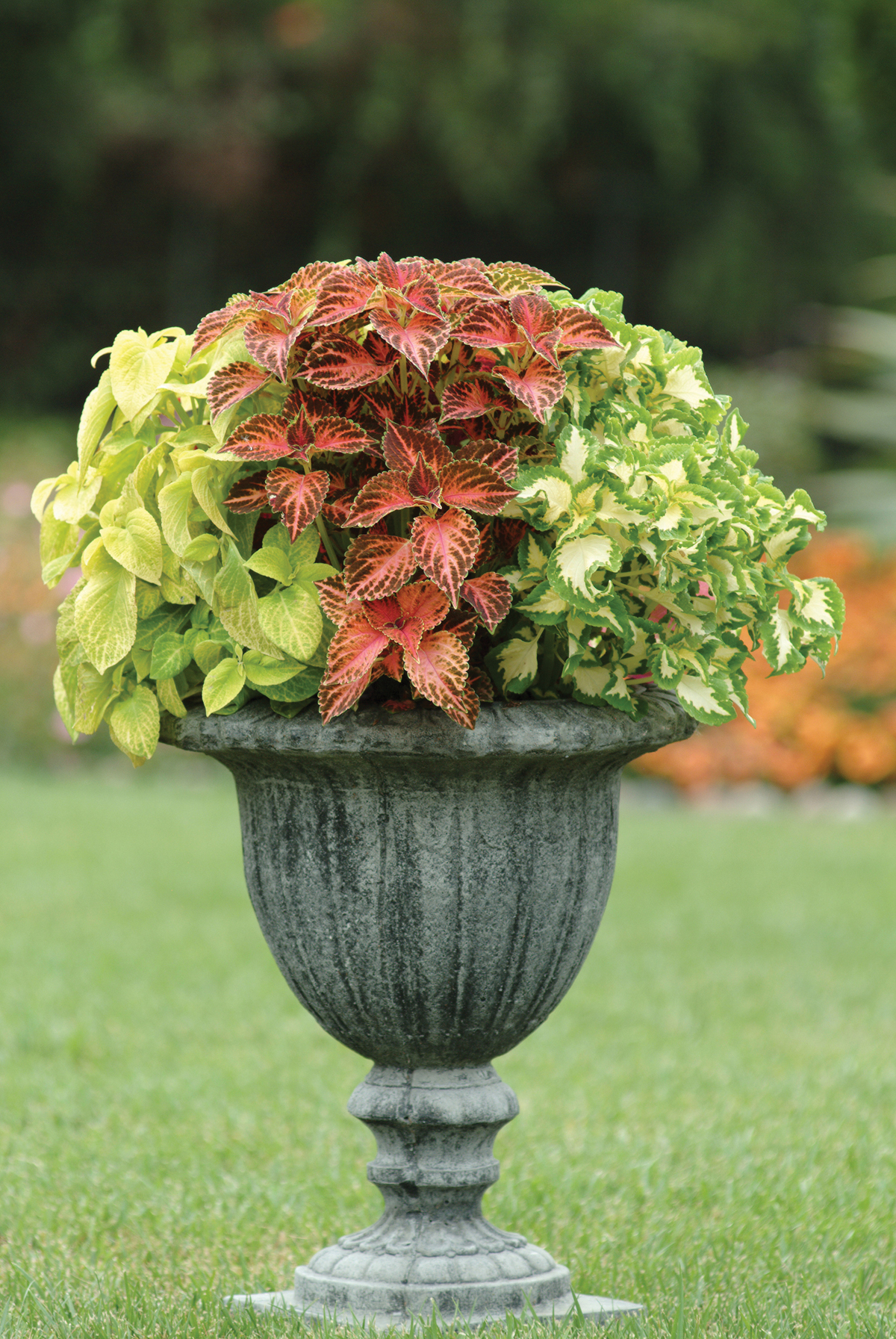 Coleus Adding Color To Your Garden Containers And Patio Pots