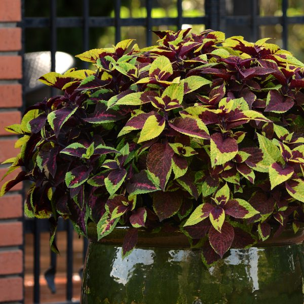 Coleus Pineapple Surprise