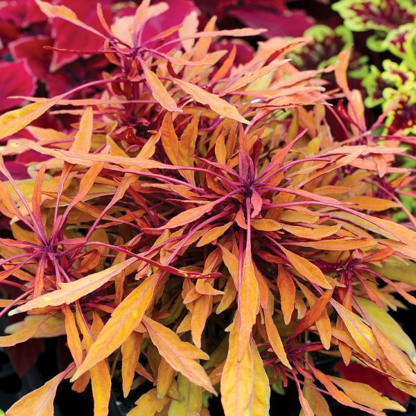 FANCY FEATHERS Copper Coleus