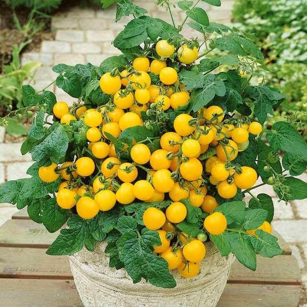 Tomato Patio Choice Yellow