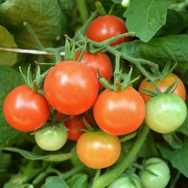 Tomato Patio Choice Red