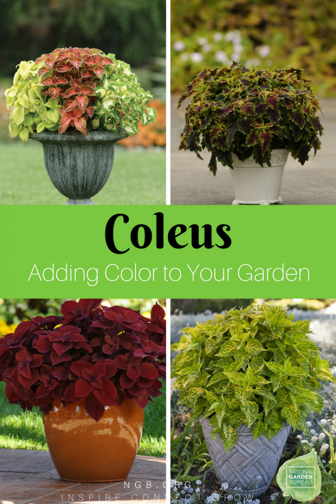 Coleus Adding Color to Your Garden
