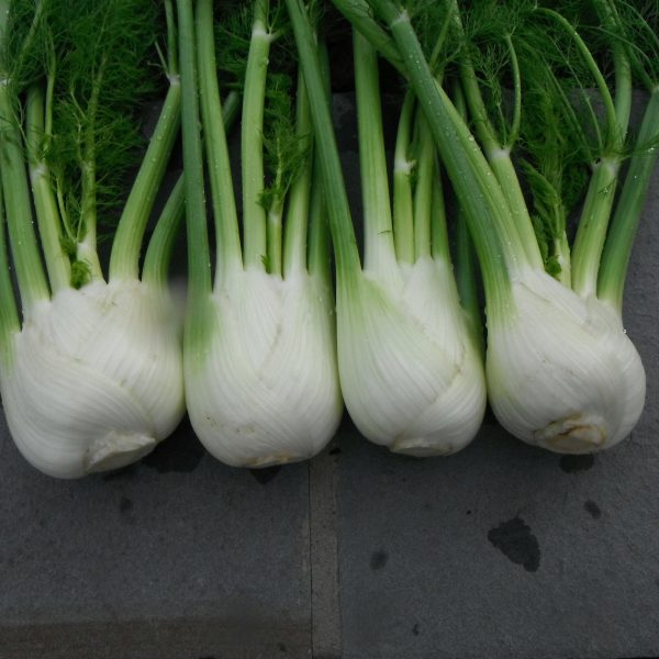 Fennel Antares