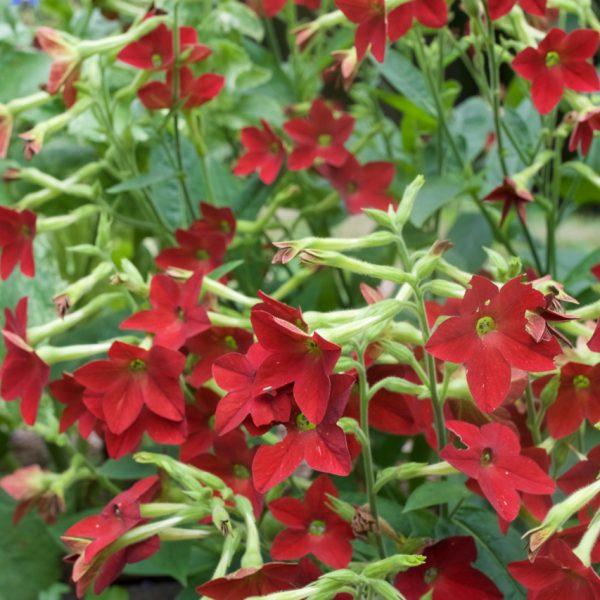 Nicotiana Flowering Tobacco Garnet Gem