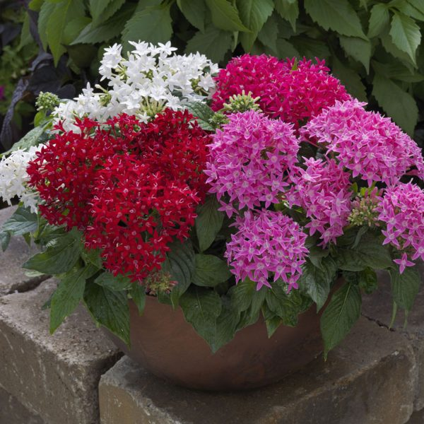 Pentas BeeBright Mix