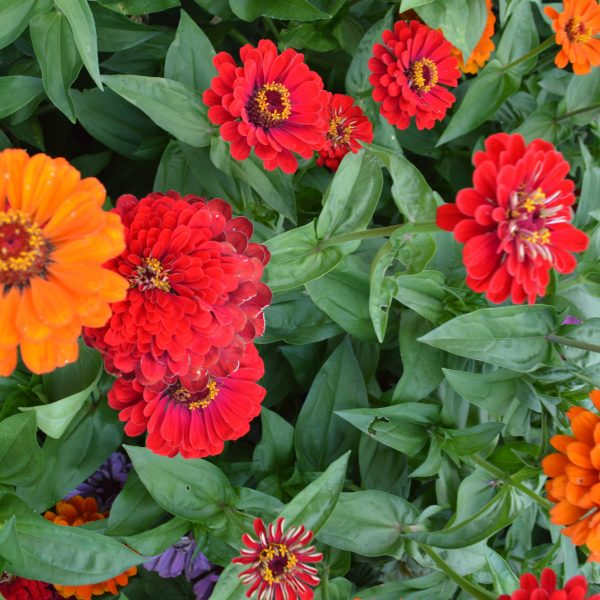 Zinnia California Giants