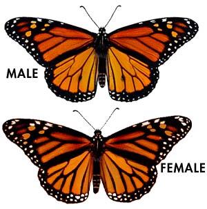 Monarch Adults