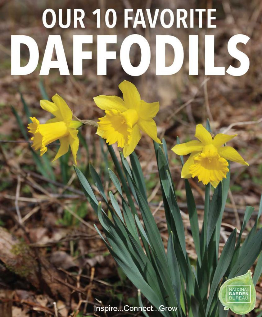 Top 10 Favorite Daffodils to plant in your home and garden from National Garden Bureau