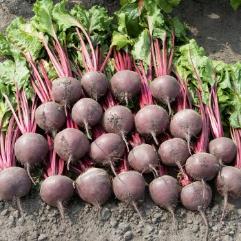 Beet Boro from Bejo Seeds - Year of the Beet - National Garden Bureau