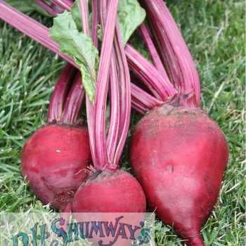 Beet Crosby Extra Early Egyptian from RH Shumway - Year of the Beet - National Garden Bureau