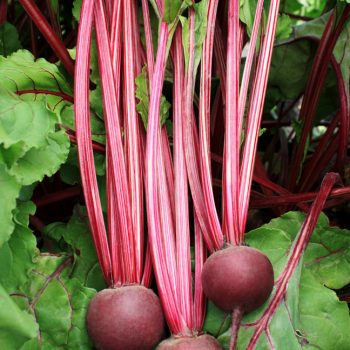 Beet Detroit Supreme from Sakata - Year of the Beet - National Garden Bureau