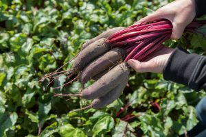 Beet Taunus from Bejo Seeds - Year of the Beet - National Garden Bureau