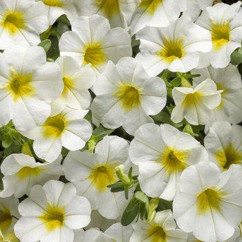 Calibrachoa Superbells Over Easy from Proven Winners - Year of the Calibrachoa - National Garden Bureau