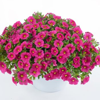 Calibrachoa Colibri Fuchsia from Danziger - Year of the Calibrachoa - National Garden Bureau