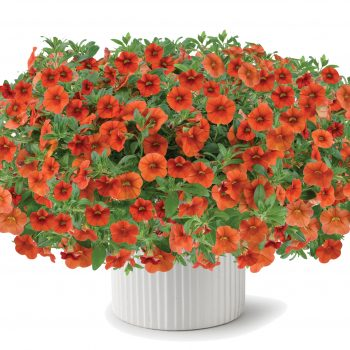 Calibrachoa Colibri Orange from Danziger - Year of the Calibrachoa - National Garden Bureau