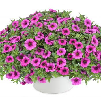 Calibrachoa Colibri Pink from Danziger - Year of the Calibrachoa - National Garden Bureau