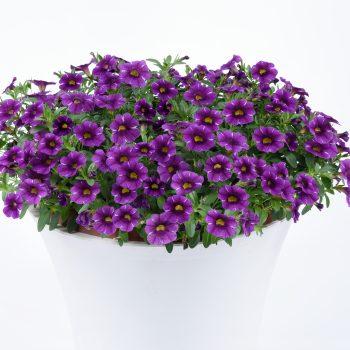 Calibrachoa Colibri Purple Lace from Danziger - Year of the Calibrachoa - National Garden Bureau
