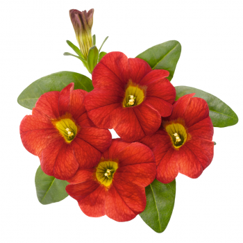 Calibrachoa Aloha Classic Fire from Dummen Orange - Year of the Calibrachoa - National Garden Bureau