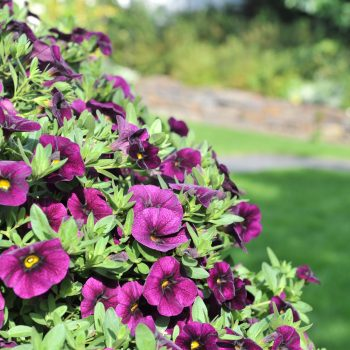 Calibrachoa Aloha Classic Midnight Purple from Dummen Orange - Year of the Calibrachoa - National Garden Bureau