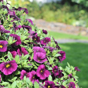 Calibrachoa Aloha Classic Midnight Purple from Dummen Orange - Year of the Calibrachoa - National Garden Bureau