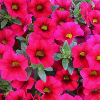 Calibrachoa Aloha Kona Dark Red from Dummen Orange - Year of the Calibrachoa - National Garden Bureau