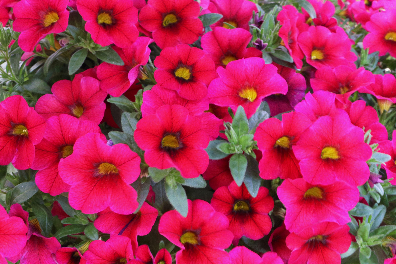 2fdcbe1d44e0 Calibrachoa Aloha Kona Dark Red from Dummen Orange - Year of the Calibrachoa  - National Garden