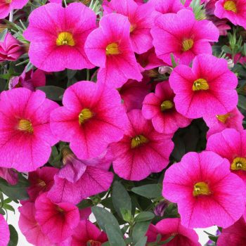 Calibrachoa Aloha Kona Fuchsia from Dummen Orange - Year of the Calibrachoa - National Garden Bureau