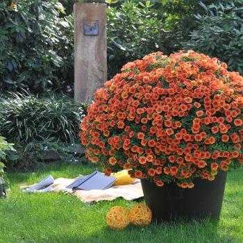 Calibrachoa Aloha Kona Hot Orange from Dummen Orange - Year of the Calibrachoa - National Garden Bureau