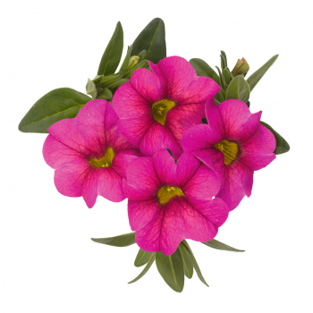Calibrachoa Aloha Kona Hot Pink from Dummen Orange - Year of the Calibrachoa - National Garden Bureau